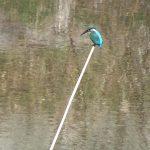カワセミ:枝の上から飛び込んでエサを取る|野鳥|摂津峡 (大阪北摂・高槻市)