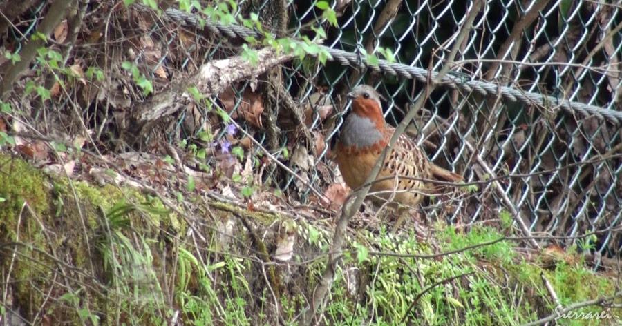 コジュケイ|野鳥|摂津峡(大阪北摂 高槻市)