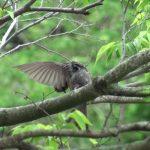 ヒヨドリ(Brown-eared Bulbul):木の上での毛づくろい|野鳥|摂津峡(大阪北摂 高槻市)