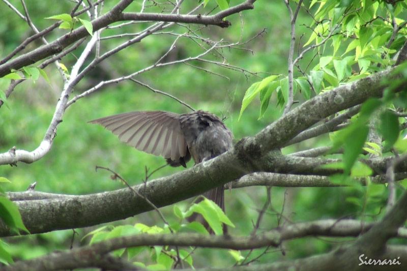 ヒヨドリ:木の上での毛づくろい