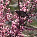 梅の花の蜜を吸いにきたヒヨドリ(Brown-eared Bulbul)|野鳥|摂津峡(大阪北摂 高槻市)(撮影は4月上旬)