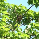 カワラヒワ(Oriental Greenfinch):木の上で羽のお手入れ 鳴き声あり|野鳥|摂津峡(大阪北摂 高槻市)