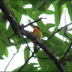 キビタキ(Narcissus Flycatcher):木の上に止まっているところをお腹のほうから撮影|野鳥|摂津峡(大阪北摂 高槻市)(5月上旬撮影)