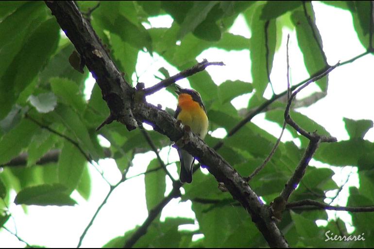 キビタキ|野鳥|摂津峡(大阪北摂 高槻市)