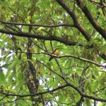 キビタキ(Narcissus Flycatcher):鳴き声、コジュケイの鳴きまねも|野鳥|摂津峡(大阪北摂 高槻市)