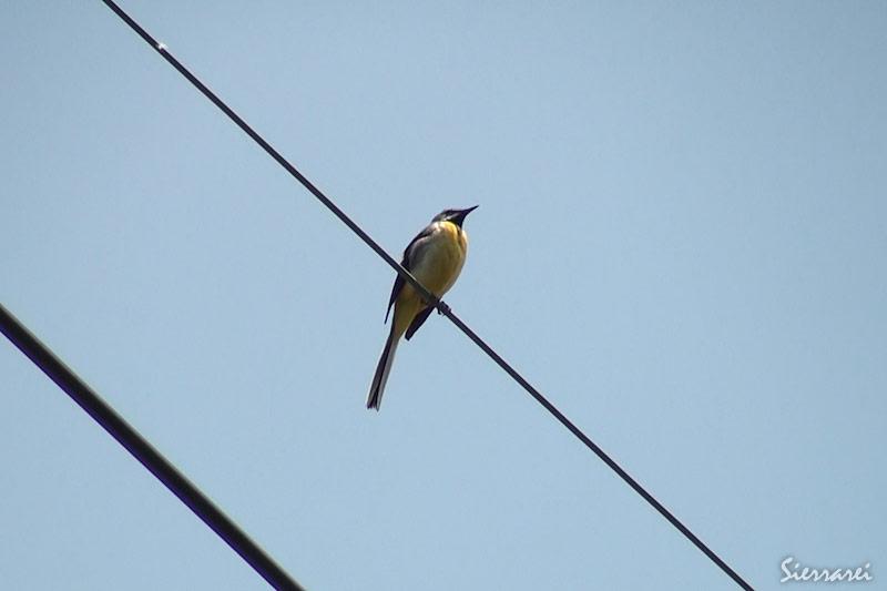 キセキレイ|野鳥|摂津峡(大阪北摂 高槻市)