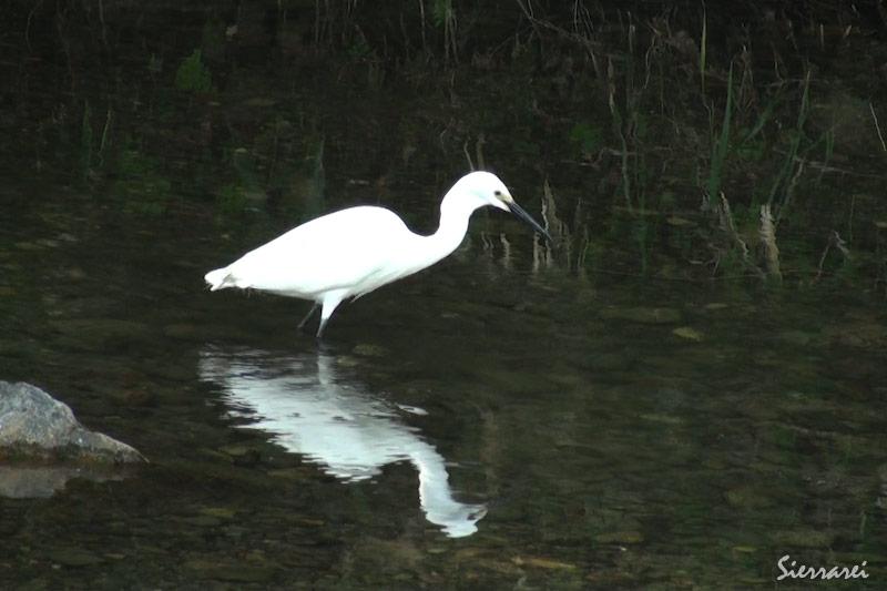 コサギ|野鳥|摂津峡(大阪北摂 高槻市)