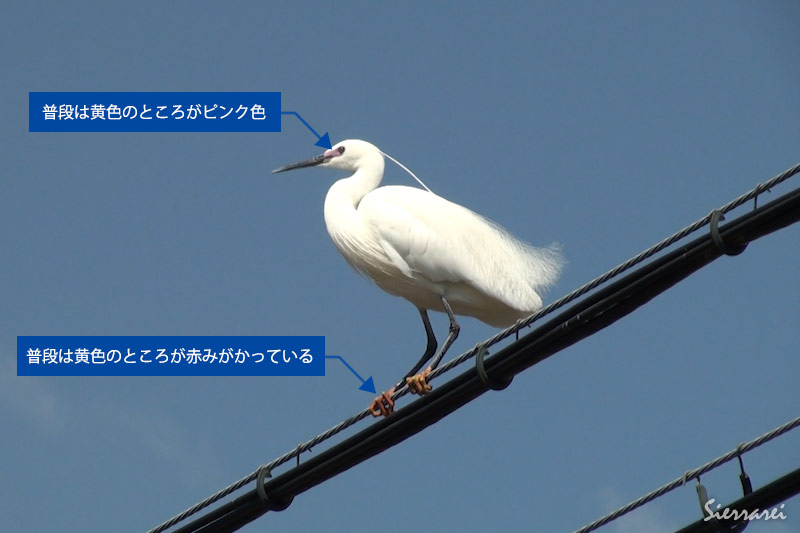 婚姻色が現れているコサギ|野鳥|摂津峡(大阪北摂 高槻市)