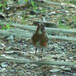 エサを求めて動きまわるアカハラ(Brown-headed thrush)|野鳥|摂津峡(大阪北摂 高槻市)(5月上旬撮影)