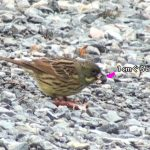 口ばしで木の実の中身を取り出して食べているアオジ(Black-faced bunting)|野鳥|摂津峡(大阪北摂 高槻市)(3月上旬撮影)