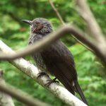 ヒヨドリ(Brown-eared Bulbul)の口の中は黄色。(鳴き声あり)|野鳥|摂津峡(大阪北摂 高槻市)(5月上旬撮影)