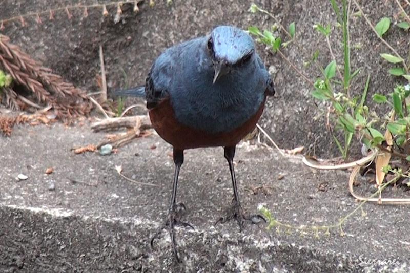 イソヒヨドリ|野鳥|摂津峡(大阪北摂 高槻市)
