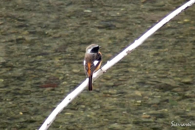 ジョウビタキ(オス)|野鳥|摂津峡(大阪北摂 高槻市)