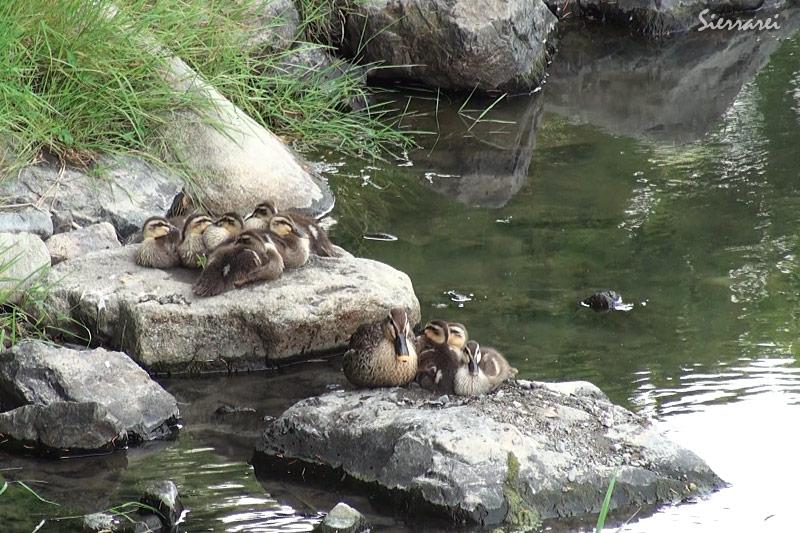 カルガモ親子|野鳥|摂津峡(大阪北摂 高槻市)