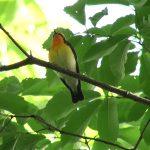 キビタキ(Narcissus Flycatcher)|ほとんどお尻からの映像になりましたが、綺麗に鳴き声は聞こえるので・・・|野鳥|摂津峡(大阪北摂 高槻市)(5月上旬撮影)
