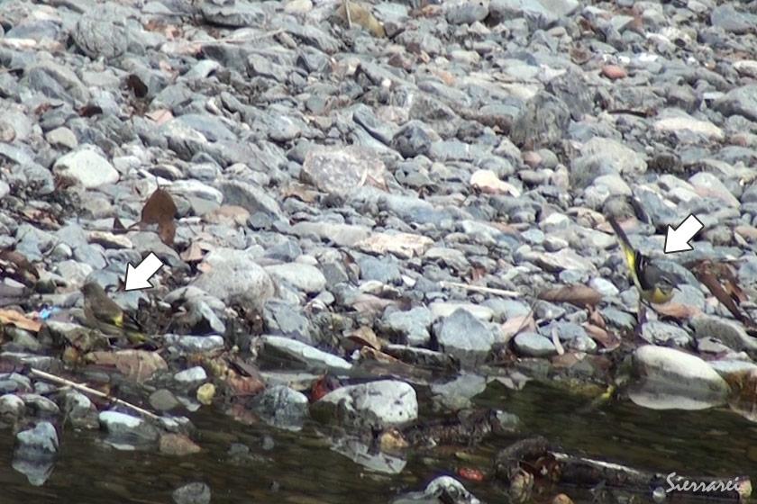 エサを探すキセキレイ(Grey Wagtail)と水浴びをする(01:25~)カワラヒワ(Oriental Greenfinch)|野鳥|摂津峡(大阪北摂 高槻市)
