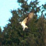 ミサゴ(オスプレイ・Osprey)のホバリング(スロー10倍・4倍再生)|野鳥|摂津峡(大阪北摂 高槻市)(3月上旬撮影)
