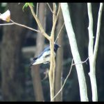 オオルリ(Blue-and-White Flycatcher)鳴き声|野鳥|大阪北摂00048-50(5月下旬撮影)