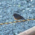 野鳥を撮り始めるきっかけとなった鳥:ルリビタキ(Red-flanked bluetail)|野鳥|摂津峡(大阪北摂 高槻市)(2月下旬撮影)