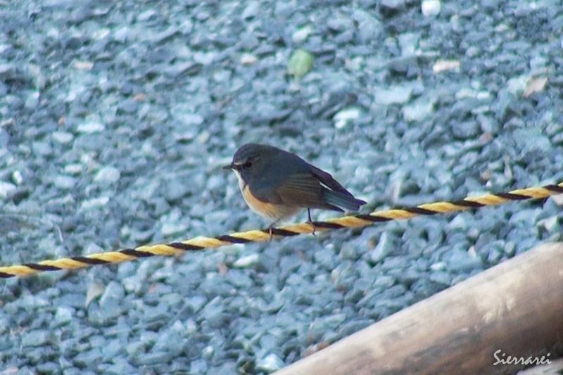 ルリビタキ|野鳥|摂津峡(大阪北摂 高槻市)