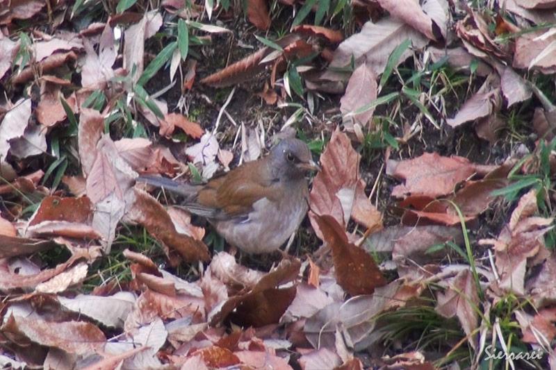 シロハラ|野鳥|摂津峡(大阪北摂 高槻市)