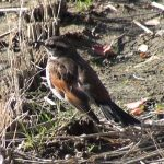 田んぼの上で日向ぼっこ中の「ツグミ」(Dusky thrush)|野鳥|摂津峡(大阪北摂 高槻市)(2月下旬撮影)