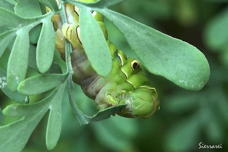 ヘンルーダ(ルー)[ミカン科]の葉を食べるナミアゲハの幼虫