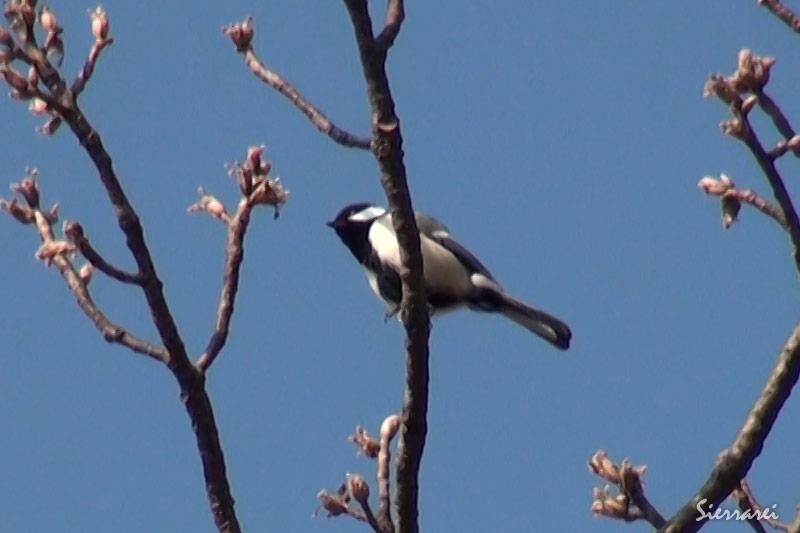 桜の木の上で鳴いているシジュウカラ(Japanese Tit)|野鳥|摂津峡(大阪北摂 高槻市)(3月中旬撮影)