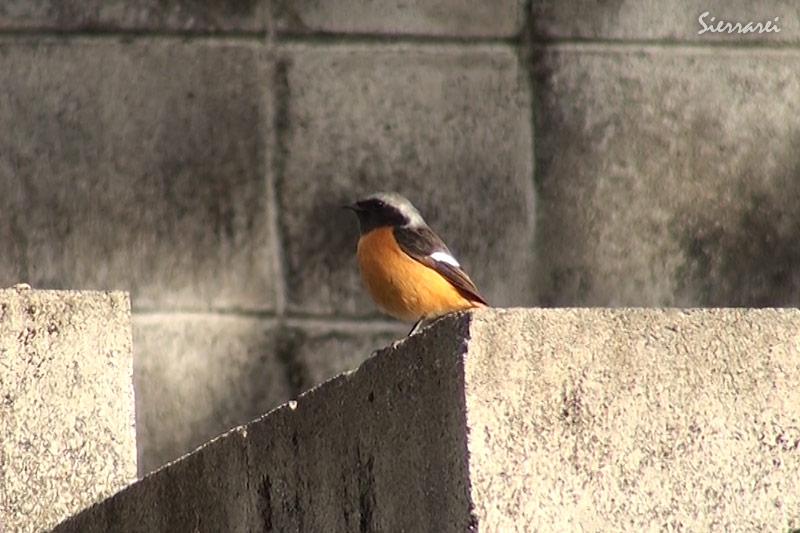 ジョウビタキ(オス)|摂津峡|野鳥(大阪北摂 高槻市)