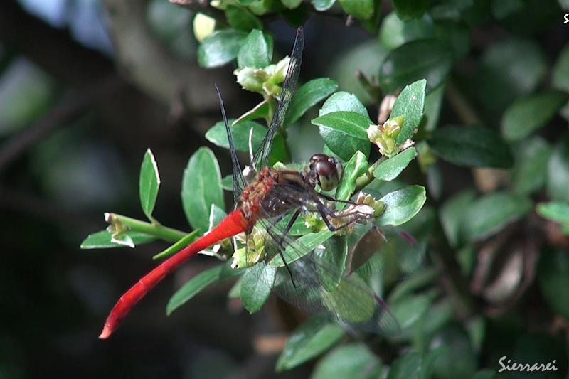 腹部の赤色がとても綺麗な赤トンボ(アキアカネかな?)