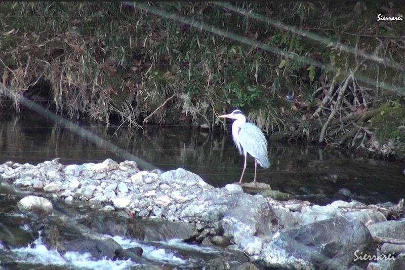 アオサギ(Grey heron)|獲物を見つけるが食べれないと気づき川の水で口をゆすぐ(1分10秒~)|野鳥|摂津峡(大阪北摂)(3月下旬撮影)