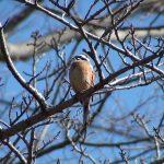ホオジロ(Meadow Bunting)の鳴き声|野鳥|摂津峡(大阪北摂 高槻市)(3月中旬撮影)