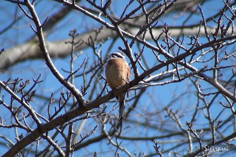 ホオジロ|野鳥|摂津峡(大阪北摂 高槻市)