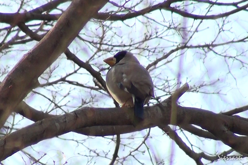 イカル(Japanese Grosbeak)鳴き声あり(0:55~)|野鳥|摂津峡(大阪北摂 高槻市)(3月下旬撮影)