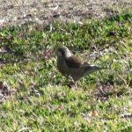 草の上でエサを探すカワラヒワ&ツグミ|野鳥|摂津峡(大阪北摂 高槻市)(3月中旬撮影)