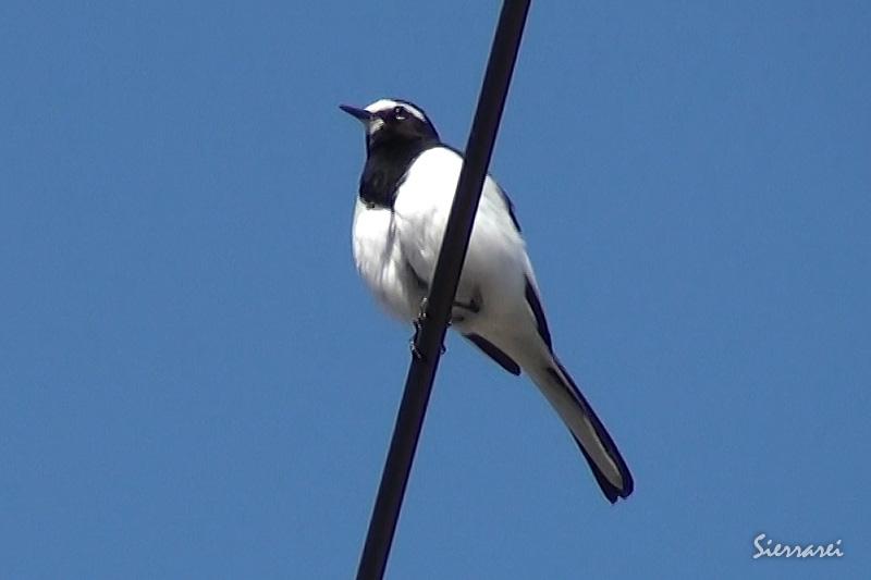 セグロセキレイ|野鳥|摂津峡(大阪北摂 高槻市)