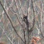 アカゲラ(メス)赤啄木鳥[ Great Spotted Woodpecker ]|野鳥|摂津峡 大阪北摂 高槻市(2018年1月撮影)