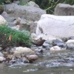 カワガラス(Brown Dipper)|野鳥|摂津峡|大阪北摂 00028