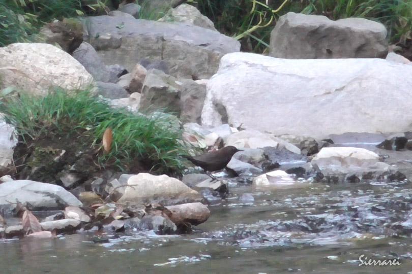 カワガラス(Brown Dipper)|野鳥|摂津峡|大阪北摂 0028