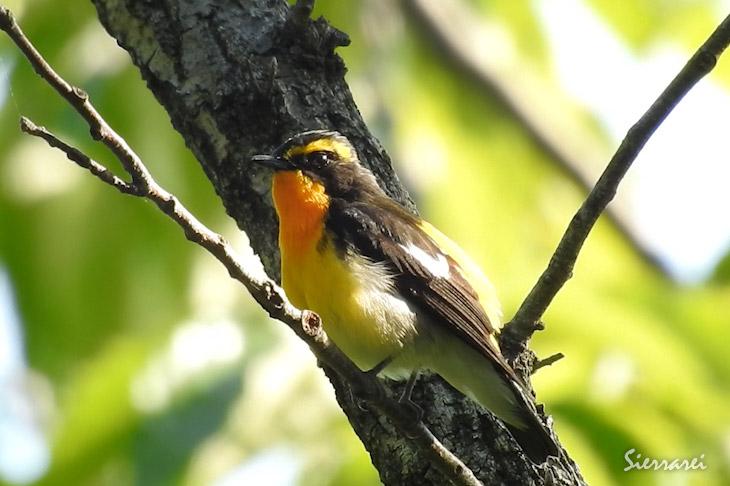 キビタキ(Narcissus Flycatcher)|野鳥 摂津峡|大阪北摂 00540056