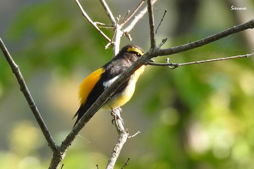 キビタキ(Narcissus Flycatcher)|野鳥|摂津峡|大阪北摂|0052