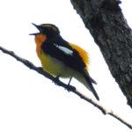キビタキ(Narcissus Flycatcher)|野鳥 摂津峡|大阪北摂 0053