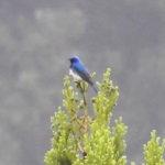 オオルリ(Blue-and-White Flycatcher)|摂津峡 大阪北摂 高槻市2018年5月3日撮影
