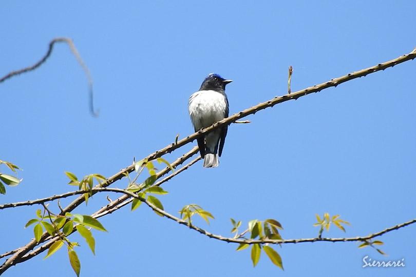 オオルリ(Blue-and-White Flycatcher)|野鳥 川久保 高槻市 0065