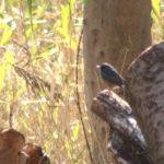 ルリビタキ(Red-flanked bluetail)|野鳥|摂津峡(大阪北摂 高槻市)(2017年3月下旬撮影)